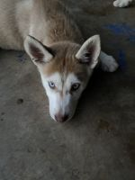 Siberian Husky Puppies for sale in Mesquite, TX, USA. price: NA