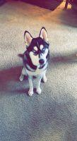 Siberian Husky Puppies for sale in San Antonio, TX 78229, USA. price: NA