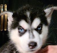 Siberian Husky Puppies for sale in Pearland, TX, USA. price: NA