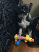 Siberian Husky Puppies for sale in Hamden, CT, USA. price: NA