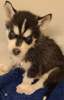 Siberian Husky Puppies for sale in Killeen, TX, USA. price: NA