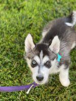 Siberian Husky Puppies for sale in Rancho Cucamonga, CA, USA. price: NA