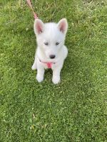 Siberian Husky Puppies for sale in Herkimer, NY 13350, USA. price: NA