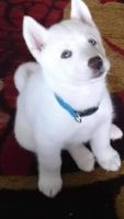 Siberian Husky Puppies for sale in Sharon, SC 29742, USA. price: NA