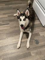 Siberian Husky Puppies for sale in Burlington, NC, USA. price: NA