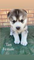 Siberian Husky Puppies for sale in Pocatello, ID, USA. price: NA