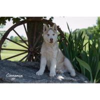 Siberian Husky Puppies for sale in Farwell, MI 48622, USA. price: NA