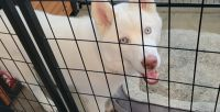 Siberian Husky Puppies for sale in Buena Park, CA, USA. price: NA