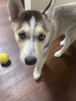Siberian Husky Puppies for sale in Lakewood, CO, USA. price: NA