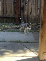 Siberian Husky Puppies for sale in Fairfield, CA, USA. price: NA