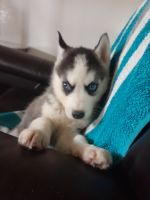 Siberian Husky Puppies for sale in Spencerville, IN 46788, USA. price: NA