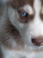Siberian Husky Puppies for sale in Providence, RI, USA. price: NA