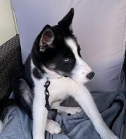 Siberian Husky Puppies for sale in South Fallsburg, NY 12779, USA. price: NA