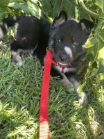 Siberian Husky Puppies for sale in Van Nuys, CA 91406, USA. price: NA