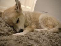 Siberian Husky Puppies for sale in Lynnwood, WA 98087, USA. price: NA