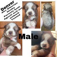 Siberian Husky Puppies for sale in Columbia, TN 38401, USA. price: NA
