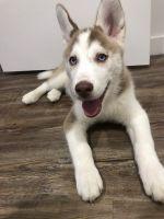 Siberian Husky Puppies for sale in 7149 Van Tuyl Pkwy, McKinney, TX 75070, USA. price: NA