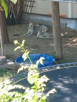 Siberian Husky Puppies for sale in Meridian, ID, USA. price: NA