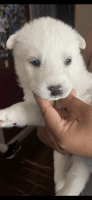 Siberian Husky Puppies for sale in Palmdale, CA, USA. price: NA