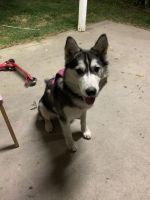 Siberian Husky Puppies for sale in Van Nuys, Los Angeles, CA, USA. price: NA