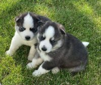 Siberian Husky Puppies for sale in Gridley, IL 61744, USA. price: NA