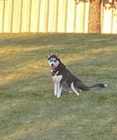 Siberian Husky Puppies for sale in Limestone, TN 37681, USA. price: NA