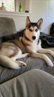 Siberian Husky Puppies for sale in Virginia Beach, VA, USA. price: NA