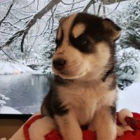 Siberian Husky Puppies for sale in Hobbs, NM, USA. price: NA