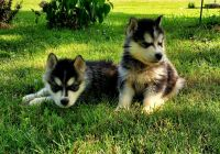 Siberian Husky Puppies for sale in White House, TN, USA. price: NA