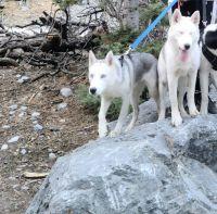 Siberian Husky Puppies for sale in Las Vegas, NV, USA. price: NA