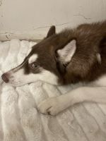 Siberian Husky Puppies for sale in Eastampton Township, NJ 08060, USA. price: NA