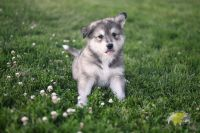 Siberian Husky Puppies for sale in Colorado Springs, CO, USA. price: NA