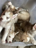 Siberian Husky Puppies for sale in Snellville, GA 30039, USA. price: NA