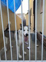 Siberian Husky Puppies for sale in 14859 Lanark St, Van Nuys, CA 91402, USA. price: NA