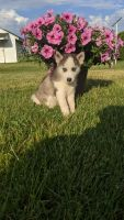 Siberian Husky Puppies for sale in Middlebury, IN 46540, USA. price: NA