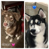 Siberian Husky Puppies for sale in Florence, SC, USA. price: NA