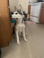 Siberian Husky Puppies for sale in 236 N King St, Hampton, VA 23669, USA. price: NA
