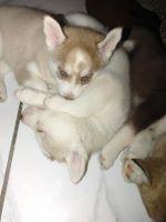 Siberian Husky Puppies for sale in Mesa, AZ 85213, USA. price: NA