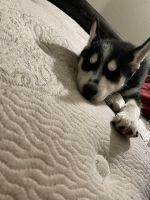 Siberian Husky Puppies for sale in Kitsap County, WA, USA. price: NA