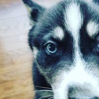Siberian Husky Puppies for sale in Kearney, NE, USA. price: NA