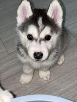 Siberian Husky Puppies for sale in Miami, FL, USA. price: NA