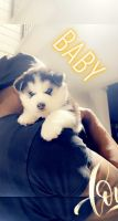 Siberian Husky Puppies for sale in Cedar Hill, TX, USA. price: NA