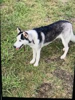 Siberian Husky Puppies for sale in Dallas, TX, USA. price: NA