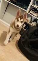 Siberian Husky Puppies for sale in Manassas, VA, USA. price: NA
