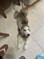 Siberian Husky Puppies for sale in Keansburg, NJ, USA. price: NA