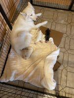 Siberian Husky Puppies for sale in Hialeah, FL 33012, USA. price: NA