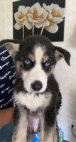 Siberian Husky Puppies for sale in Lorton, VA, USA. price: NA