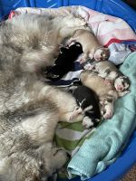 Siberian Husky Puppies for sale in Fort Ripley, MN 56449, USA. price: NA