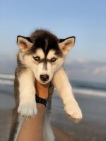 Siberian Husky Puppies for sale in Jacksonville, NC 28543, USA. price: NA