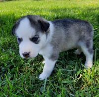 Siberian Husky Puppies for sale in Whiting, IN 46394, USA. price: NA